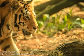 Bengal Tiger-2