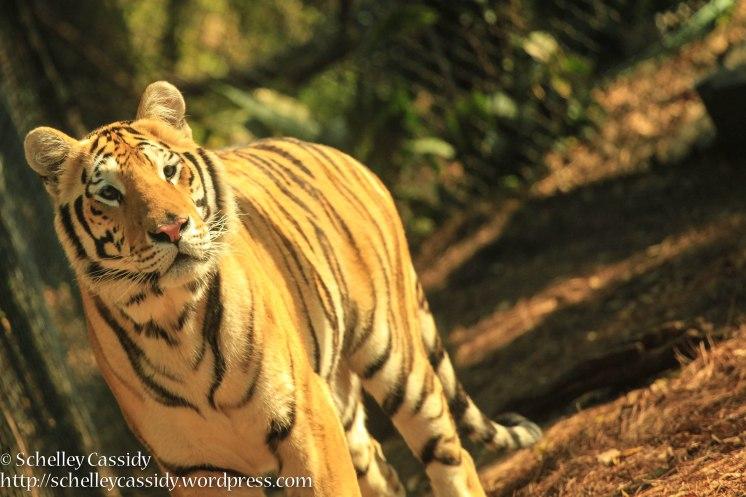 Bengal Tiger-3