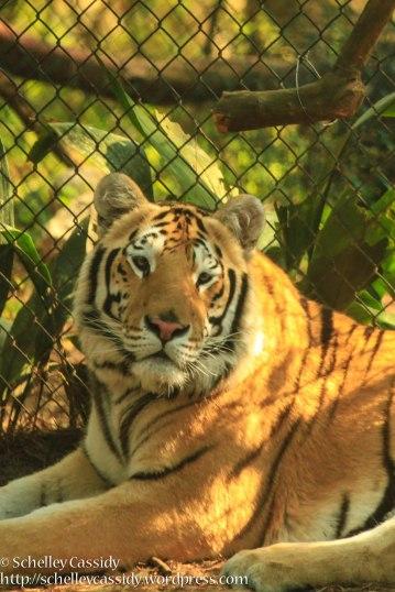 Bengal Tiger-4