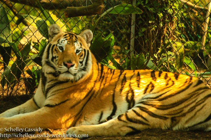 Bengal Tiger-5