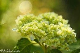 hydrangea-4