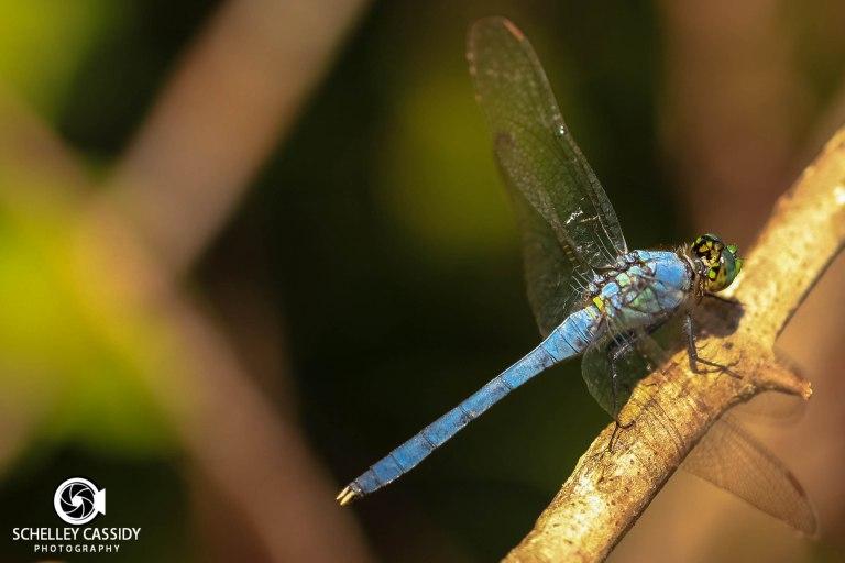 IMG_0994-2 dragonfly